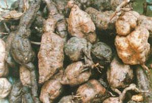 Birttang herbfinder fleece flower root mightylinksfo